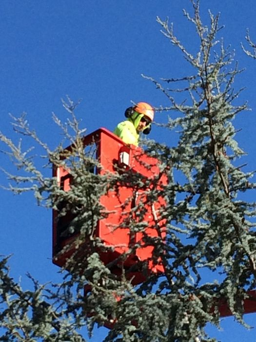 Tree Work for City of Chico and DCBA