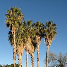 Palm trees before pruning