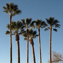 Palm trees after pruning
